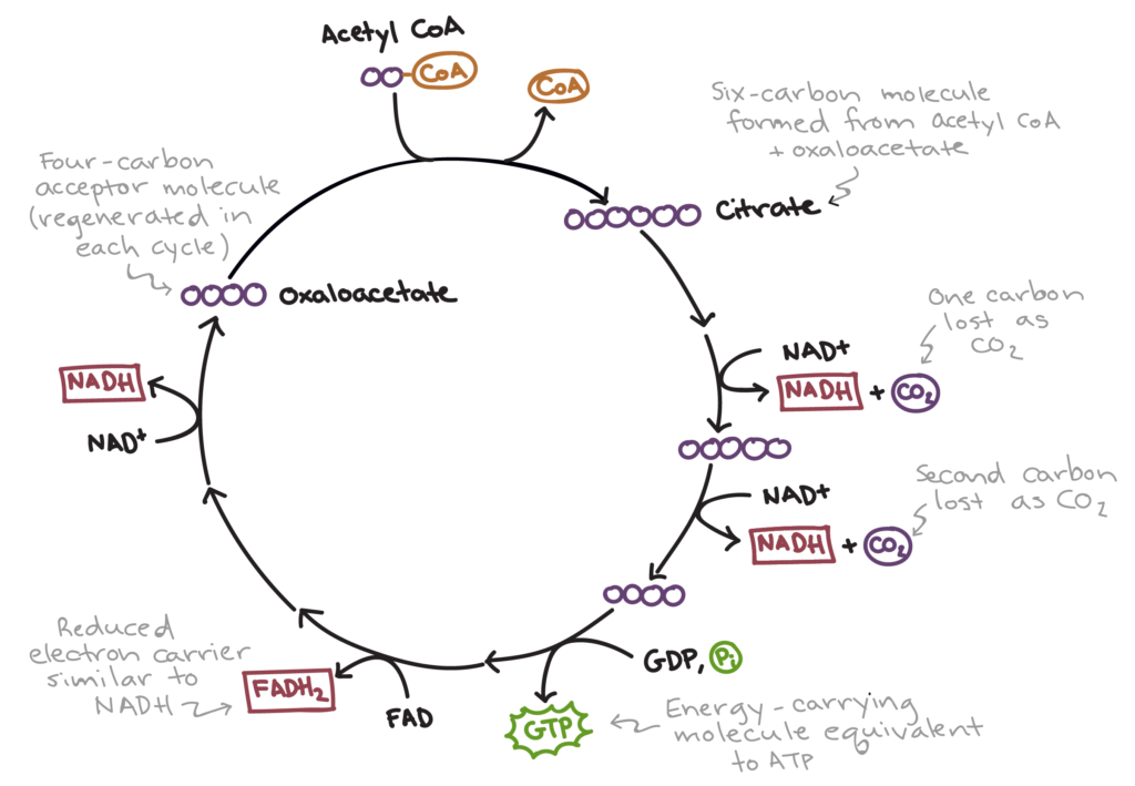 biochemistry  Diffusion of FAD  Biology Stack Exchange