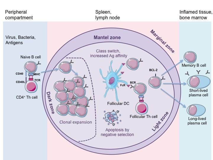 B-клетки
